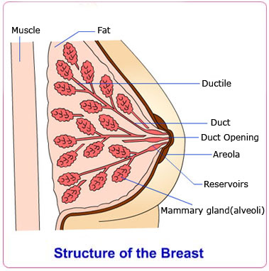 Normal+breast+structure