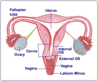 Uterus Vaginal Bleeding