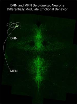 Role of Serotonin Neurons in Brain for Mood Regulation