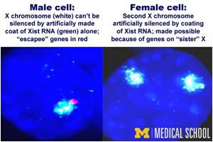 New Discovery Shows There's More to the Story in Silencing X Chromosomes
