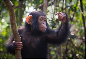 Chimpanzee Parasite Species Reveal Evolution of Human Malaria