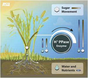 Crop Performance can be Improved With New Biotechnology