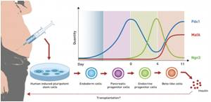 Stem Cells can be Differentiated into Various Cell Types