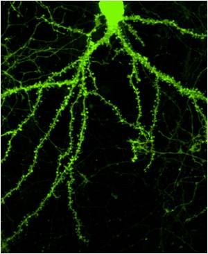 Novel Molecules Designed To Promote Neurons Associated With Memory