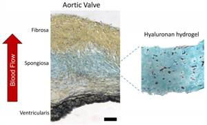A Step Closer to Synthetic Heart Valves That Mimic the Original