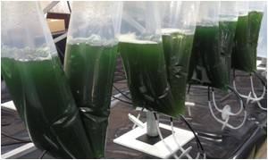 Manipulated Microalgae Converts Sunlight into Medicine