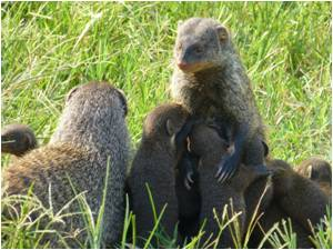 Mother Mongooses Risk Death to Protect Their Unborn Children