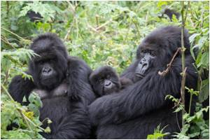 Chewed Bark, Leaves Help Detect Viruses in Mountain Gorillas and Monkeys