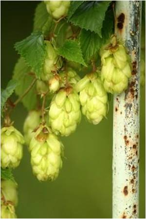 Hops Extract can Reduce the Risk of Breast Cancer