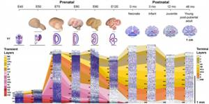 Understanding the Comprehensive Molecular Map of Primate Brain Development
