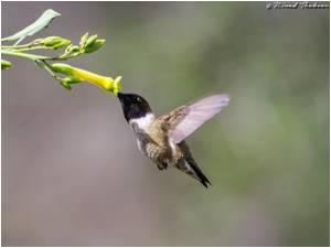 Polyploid Hybrids can Have an Evolutionary Advantage