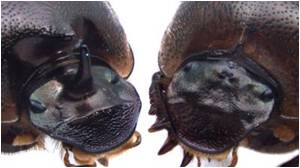 'Cyclops' Beetles Shed Light on 'Chicken-and-Egg' Problem in Novel Trait Evolution