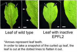 The Mystery on How Plant Leaves Grow Their Teeth Unlocked
