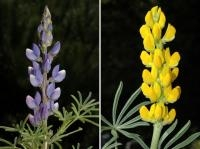 Research Reveals Nutritional Value of Andalusian Lupines