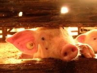 Research Finds 77 Percent of European Pigs are Castrated Without Anesthetic