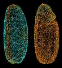 Research: Digital Embryo Gains Wings