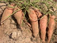 Food News: Sweetpotato Foundation Seed Tested in Commercial Operations