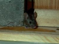 Mutant Mouse Resistant to Common Poison