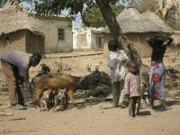 H1N1 Flu Virus Prevalent in Animals in Africa Say UCLA Scientists