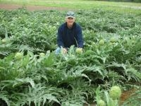 Artichokes Gain Popularity in Texas