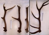 Deer Antlers Offer Clues to Root Cause of Osteoporosis