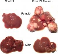 Small Changes in Genome may explain Gender Differences in Liver Cancer Risk
