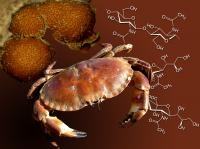 Crab Shells Yields Pharmaceuticals