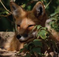 Increase in Lyme Disease Mirrors Drop in Red Fox Numbers: UC Santa Cruz Researchers