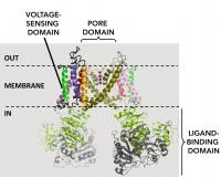 A Model-independent Way to Studying Ion Channel Gating