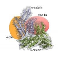 Structure of a Protein Necessary for Cell-Cell Interaction Defined in New Study