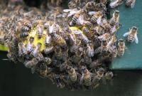 Researcher Says Immune Cells Cluster and Communicate 'Like Bees'