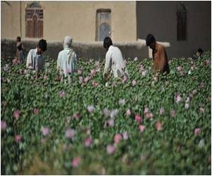 Afghan Farmers Still Growing Poppy, Despite Efforts to Curb Cultivation
