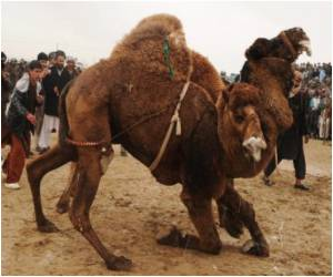 Afghanistan's Warlords At War: Warrior Camels Pitted Against Each Other