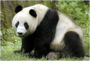 BBC Names Giant Panda Among 12 'Female Faces of 2011' Triggering Widespread Outrage
