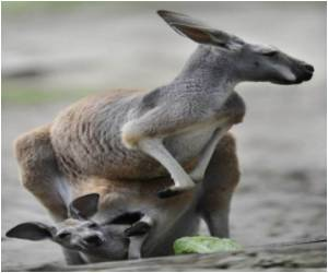 Australian Baby Saved by Kangaroo Cuddle