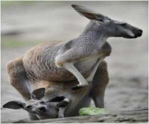 Australian Baby Saved by Kangaroo Cuddle