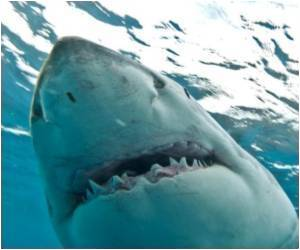 Research Finds White Sharks Remarkably Similar to Humans