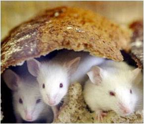 Lifespan in Mice Prolonged by Delayed Female Sexual Maturity