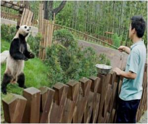 More Than 17,000 Vie to Be Chinese Panda-Keeper For a Month