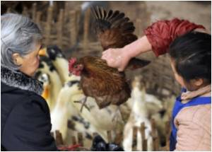 Chinese Province Bans Raising Chickens In Cities To Curb Bird Flu Spread