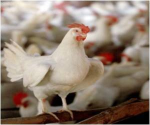 Chhattisgarh Struck By Bird Flu