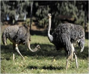 Big Birds Get Bloodless Erections