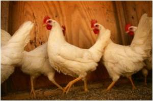 EU States Opposed to Ending Ban on US Poultry