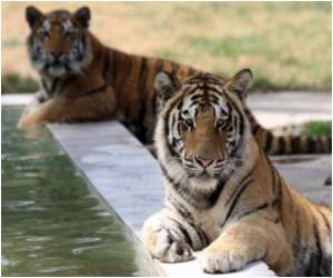 Conservationists Claim Only 28 Tigers Remaining in Odisha, India, but Govt says 60