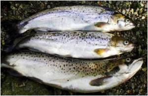 Mercury Levels Have Shot Up in Popular Species of Game Fish in Lake Erie