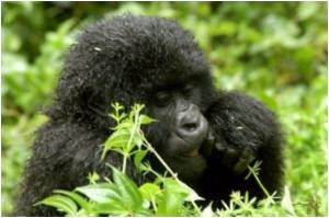 How Gorillas Infuse Confidence in Their Playmates