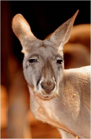 Kangaroo 'Dream Cream' may Help Prevent Skin Cancer