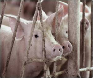GE Organs From Pigs Safe for Human Transplantation