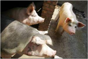 Pork-borne Disease Outbreak Fear in Cambodia