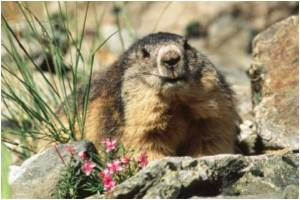 WHO Points Finger at Marmot for China Plague Outbreak